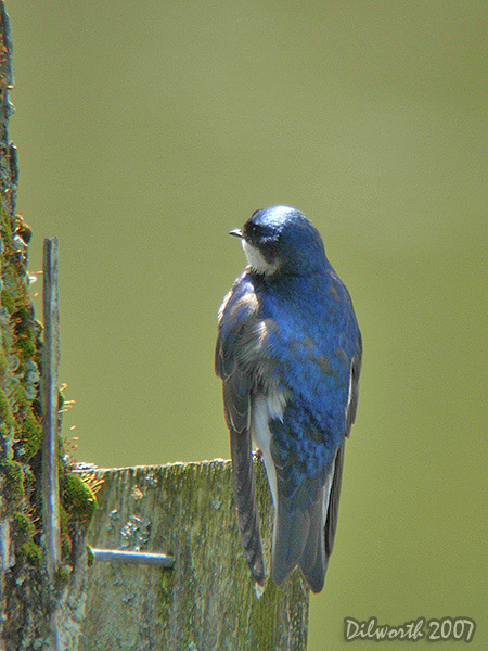 v422m1 Tree Swallow