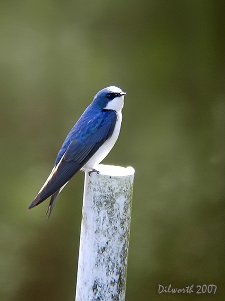 v422m2 Tree Swallow