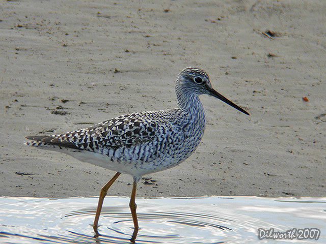423 Greater Yellowlegs