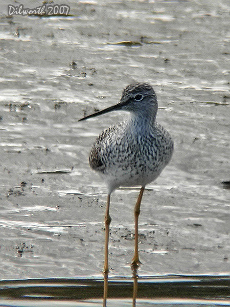 v423m1 Greater Yellowlegs