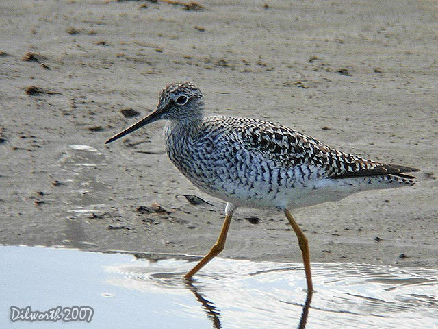 423m2 Greater Yellowlegs
