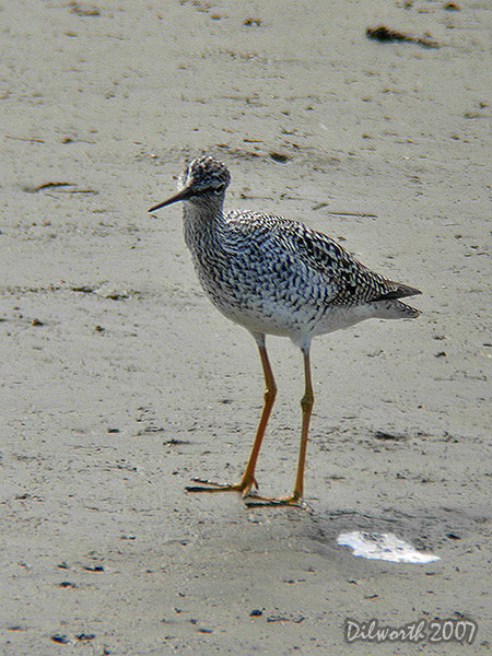 v423m3 Greater Yellowlegs
