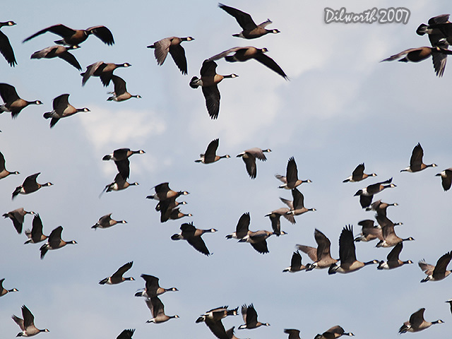 428 Canada Geese