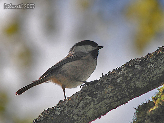 429m1 Black-capped Chickadee