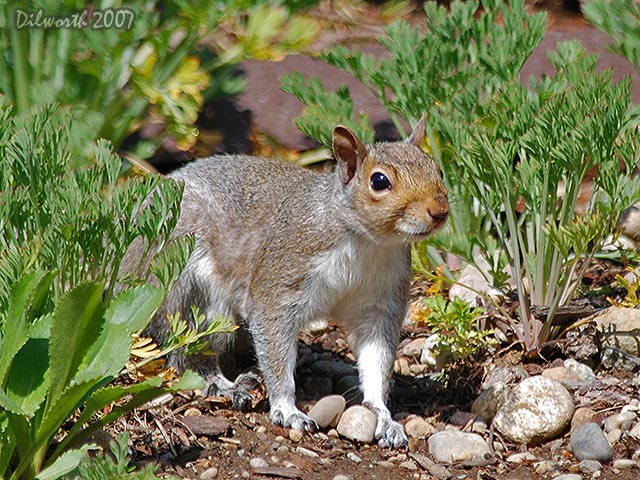 431 Gray Squirrel