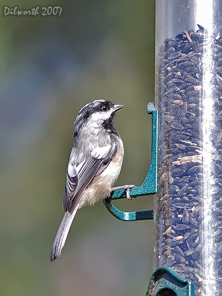 v433 Black-capped Chickadee