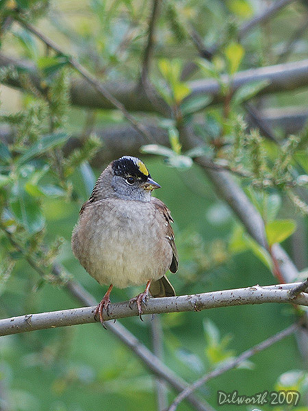v434 Golden-crowned Sparrow