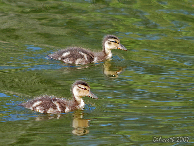 439 Mallard Ducklings