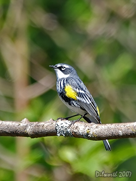v440m2 Yellow-rumped Warbler