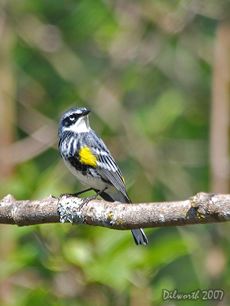 v440m3 Yellow-rumped Warbler