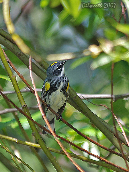 v443m2 Yellow-rumped Warbler