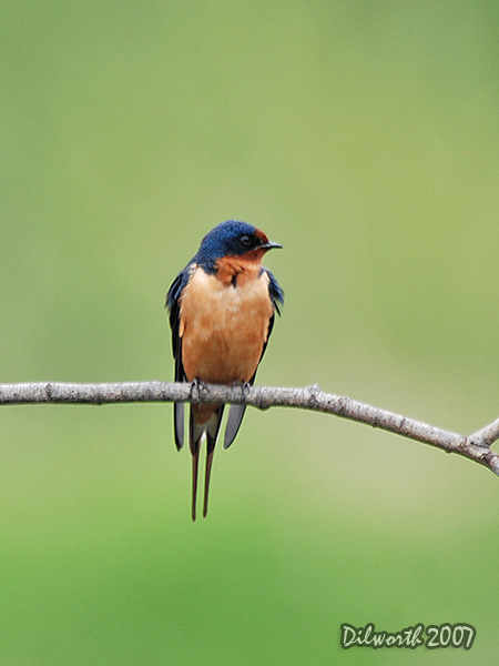 v449 Barn Swallow
