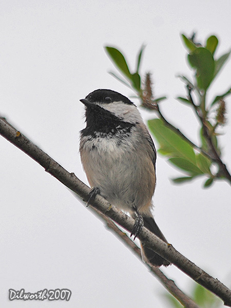 v454 Black-capped Chickadee