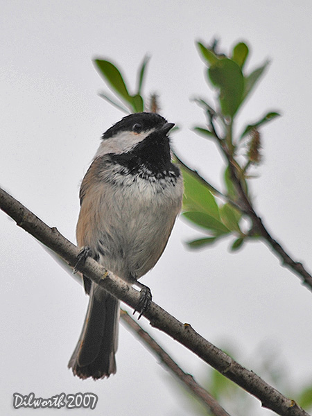 v454m1 Black-capped Chickadee