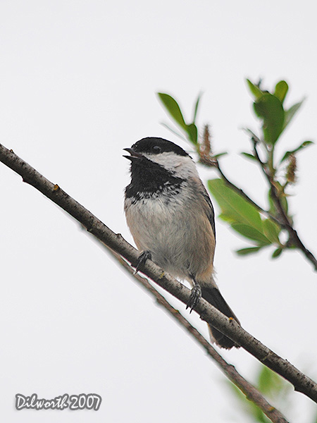 v454m2 Black-capped Chickadee