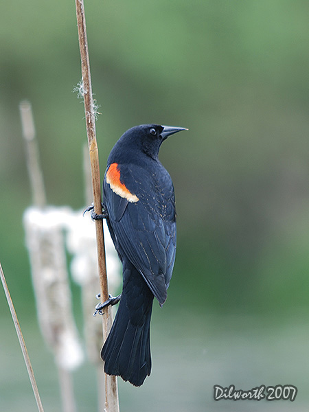 v455m2 Red-winged Blackbird