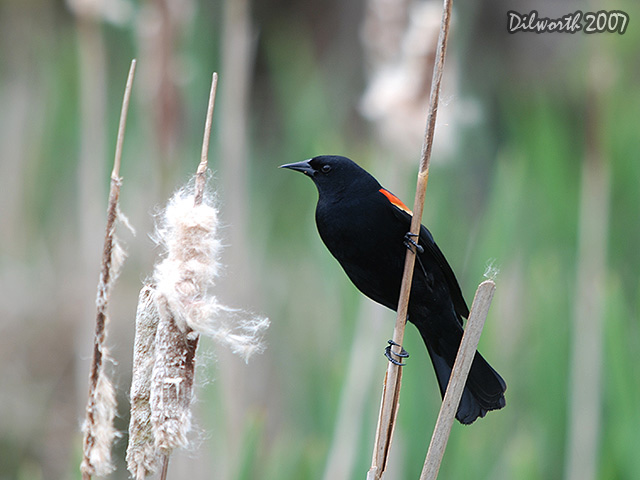 457m1 Red-winged Blackbird