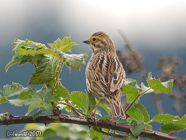 458 Savannah Sparrow