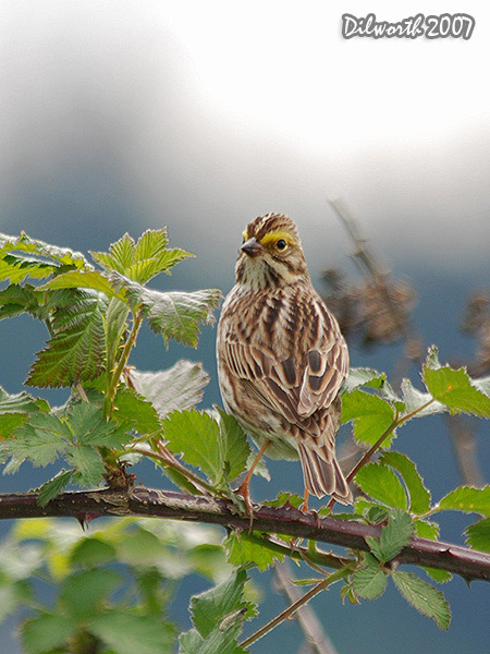 v458m Savannah Sparrow