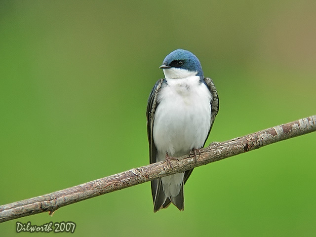 462 Tree Swallow