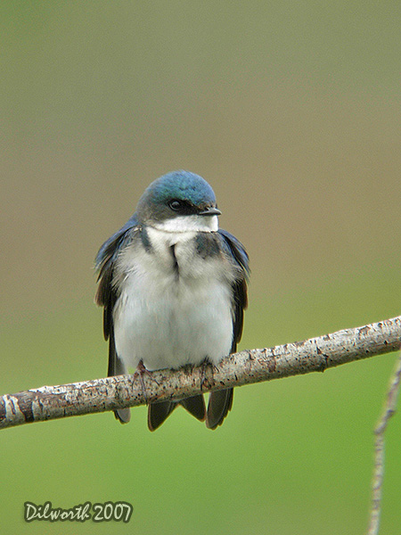 v462m3 Tree Swallow