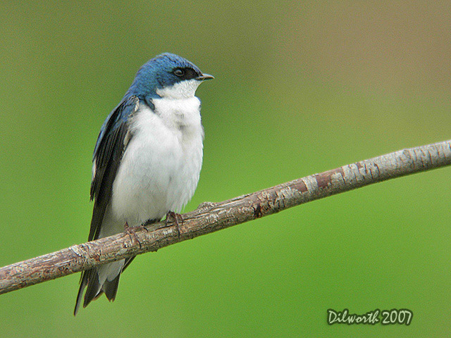462m4 Tree Swallow