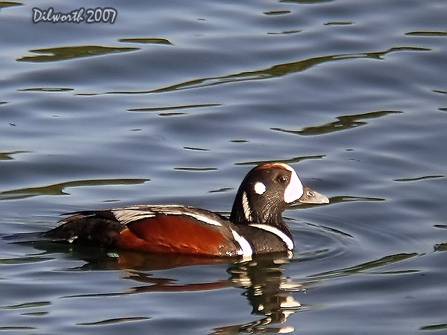 464 Harlequin Duck