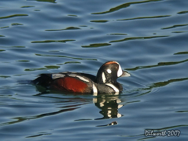 464m1 Harlequin Duck