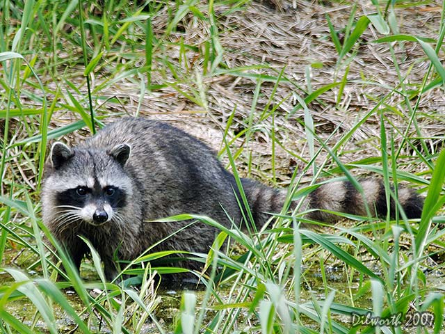 468 Raccoon