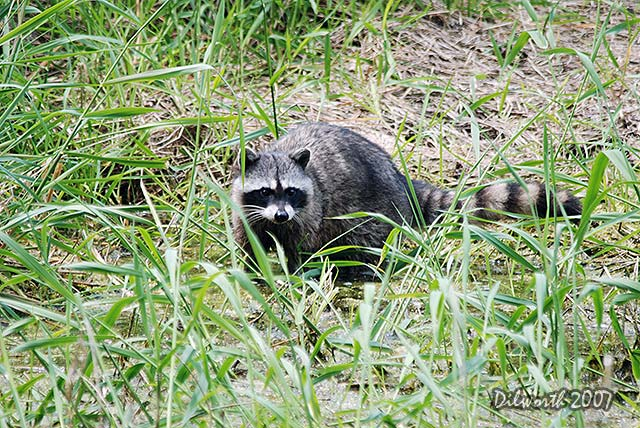 468m1 Raccoon