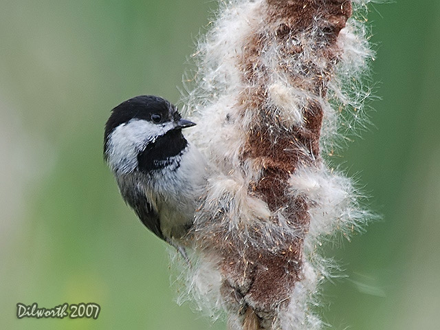 469 Black-capped Chickadee
