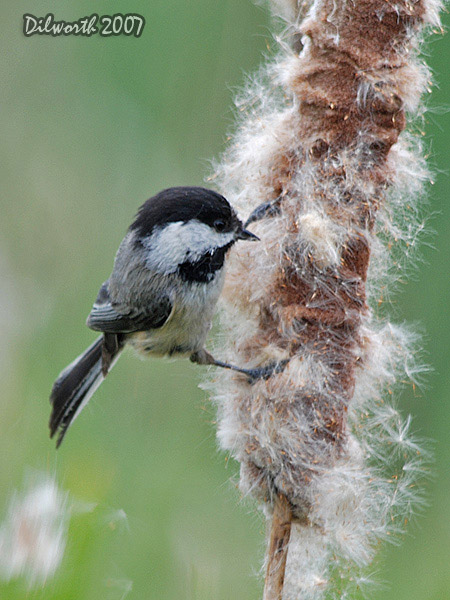 v469m Black-capped Chickadee