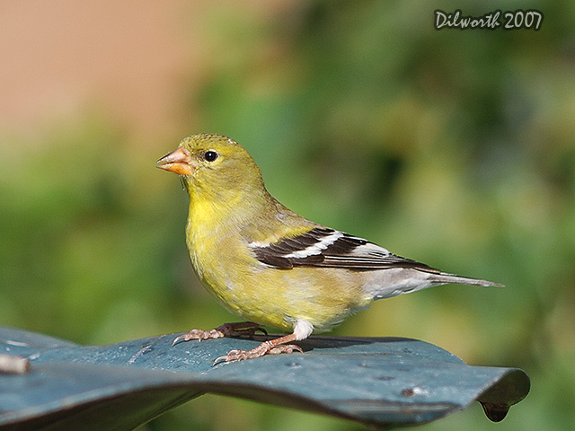 472 American Goldfinch
