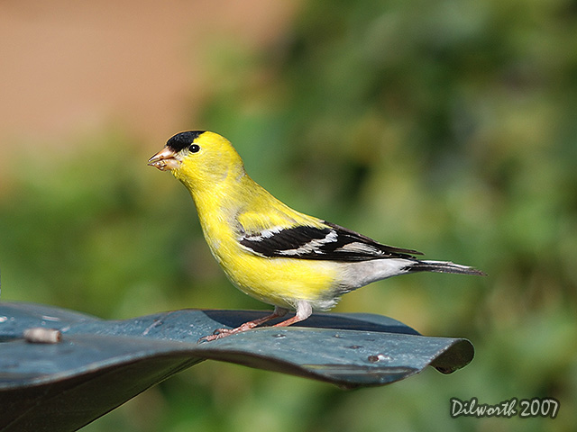 472m American Goldfinch