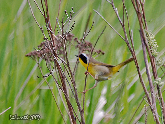 475 Common Yellowthroat