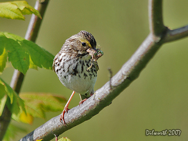 477m Savannah Sparrow
