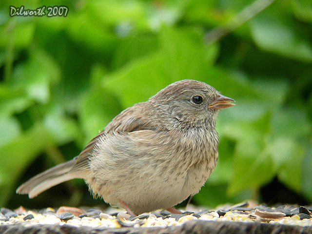 479 Dark-eyed Junco