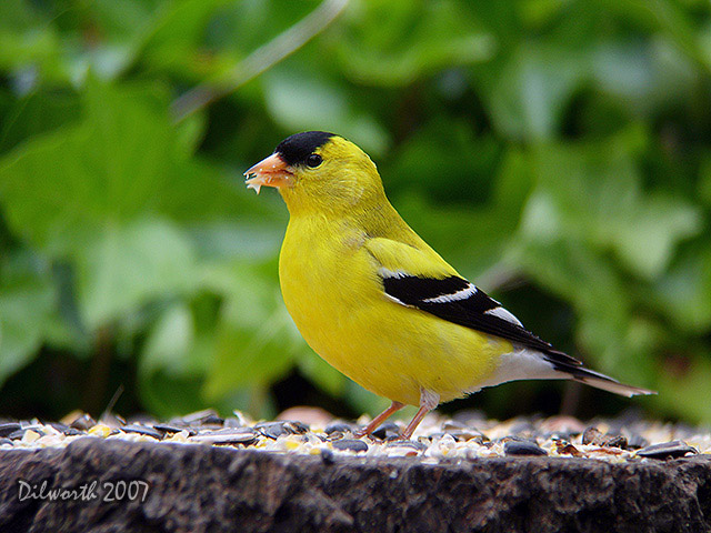 481 American Goldfinch