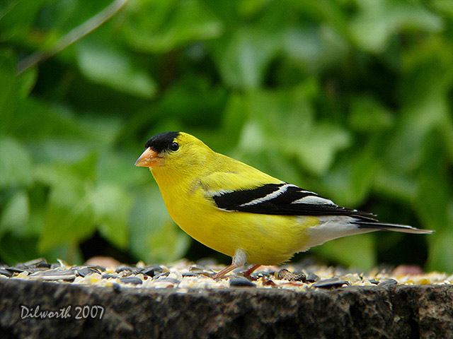 481m1 American Goldfinch