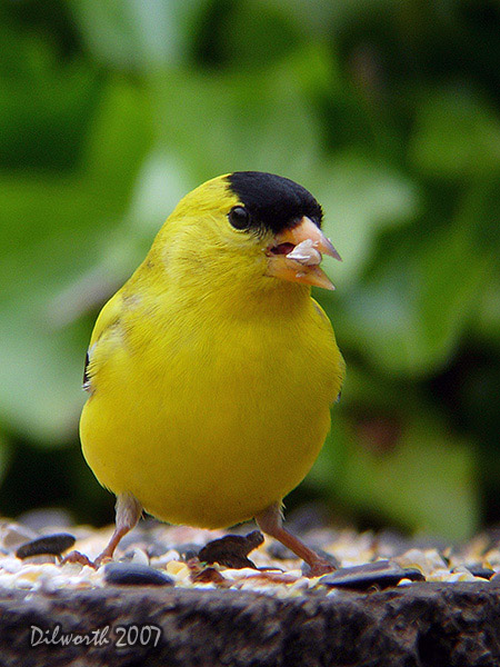 v481m2 American Goldfinch