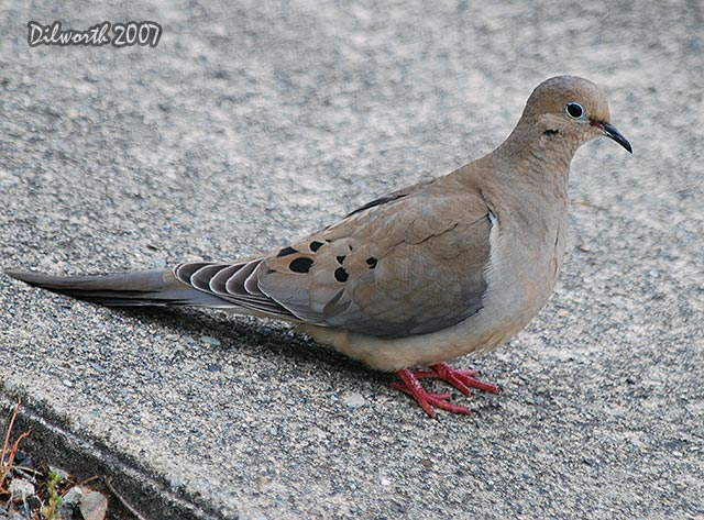 482 Mourning Dove