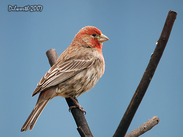 483 House Finch