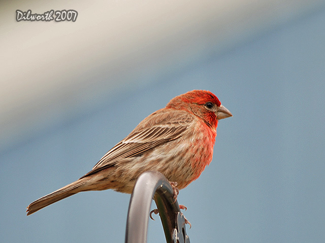 483m2 House Finch