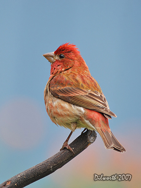 v484 Purple Finch