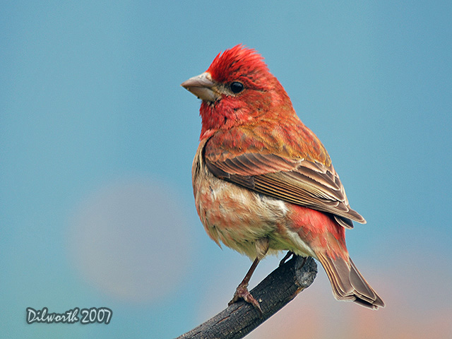 484m1 Purple Finch