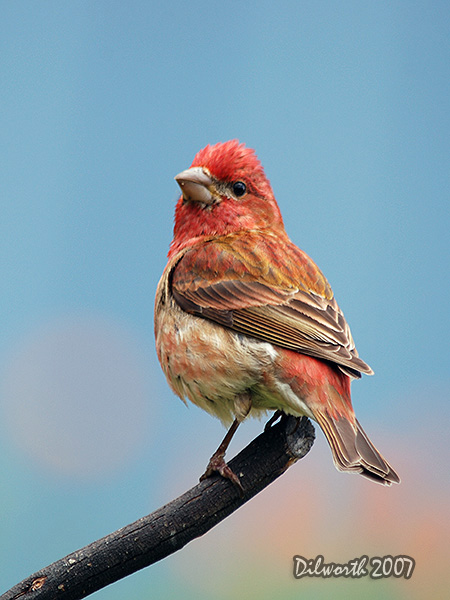 v484m2 Purple Finch