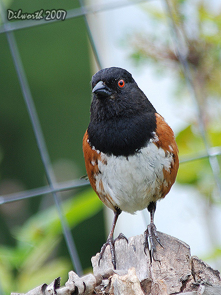 v485m Spotted Towhee
