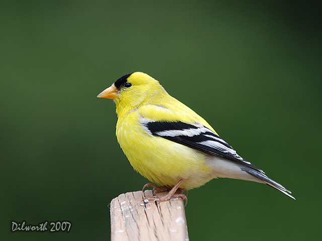 492 American Goldfinch
