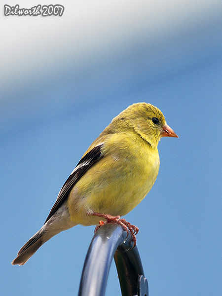 v493m2 American Goldfinch