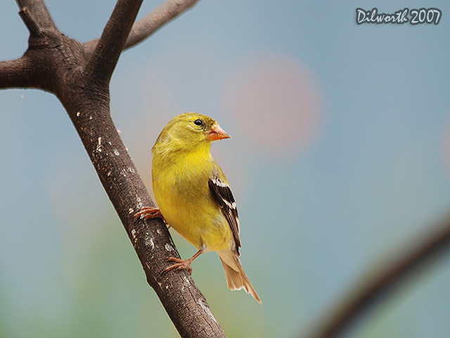 493m3 American Goldfinch